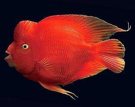 红财神鹦鹉鱼