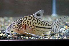 金花豹鼠鱼