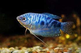 蓝星鱼的饲养与繁殖