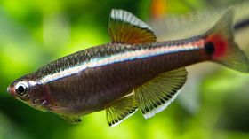 白云金丝鱼:珍惜国产热带鱼