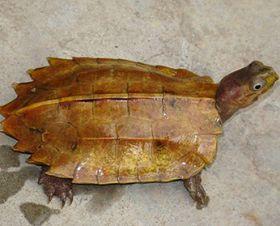 灵芝龟的繁殖与饲喂