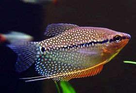 珍珠鱼的繁殖