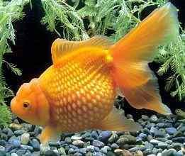 漂亮的红金鱼