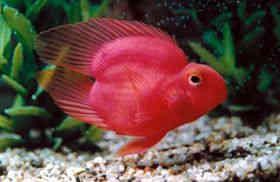 一颗心鹦鹉鱼