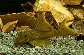 高帆金钻异型鱼图片