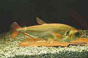 红尾大暴牙大型鱼