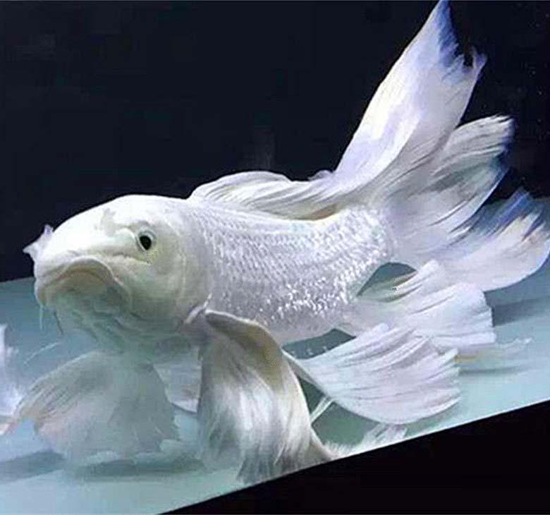 白金锦鲤怎么养