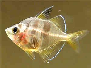 玻璃拉拉鱼
