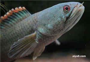 彩虹雷龙鱼怎么养