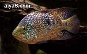 德州豹鱼怎么养