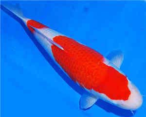 二段红白锦鲤