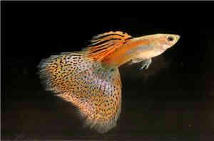 草尾孔雀鱼
