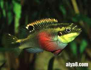 红肚凤凰鱼