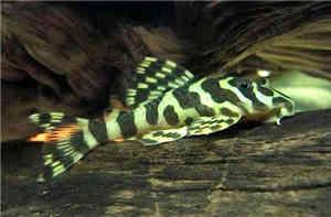 黄金斑马异型鱼怎么养