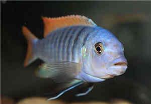 黄金闪电鱼