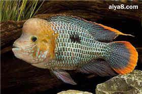 红尾皇冠鱼怎么养