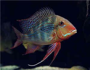 红珍珠关刀鱼怎么养