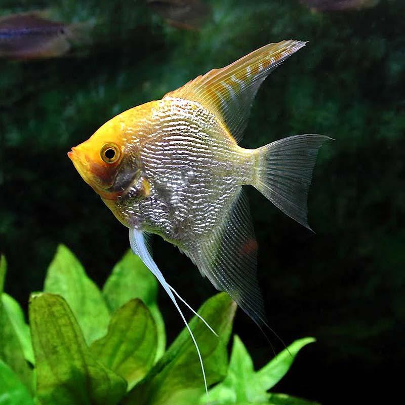 金头神仙鱼