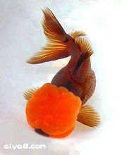 金鱼的饲料