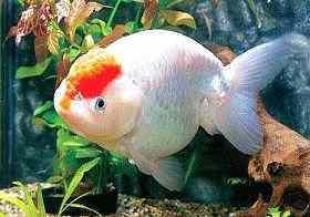 金鱼患病的几种表现
