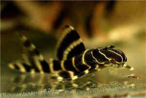 金线黑斑马异型鱼怎么养