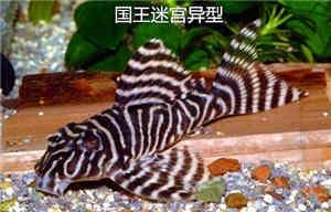 国王迷宫异型鱼怎么养