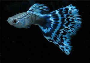 蓝马赛克孔雀鱼