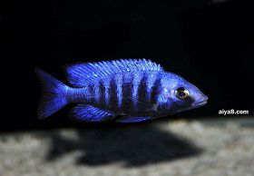 蓝宝石鱼怎么养