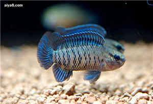 蓝矾变色龙鱼