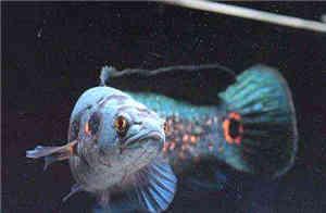七彩海象雷龙鱼