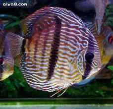 七彩神仙鱼异常行为及疾病治疗