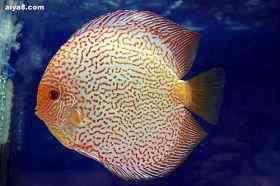怎样防治七彩神仙鱼的白皮病