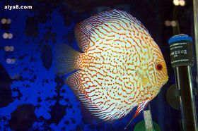 七彩鱼易患的疾病