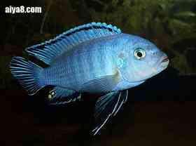 闪电王子鱼怎么养
