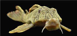 老虎类异型鱼